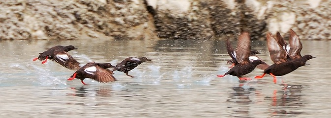 Picture-Pigeon-Guillemot-taking-off