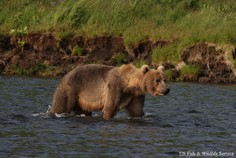 Picture-Brown-Bear